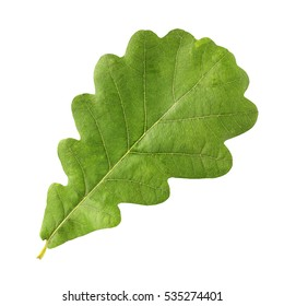 Green oak leaf isolated on a white background.