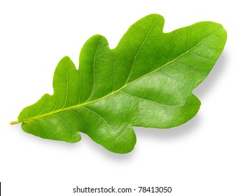 Green oak leaf isolated on white background.