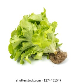 Green Oak leaf Lettuce (Lactuca sativa) isolated on white background
