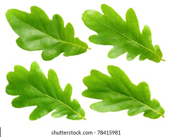 Green oak leafs set isolated on white background.