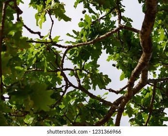 Green oak leaves and branches in the light nature forest background image