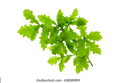 Green oak leaves isolated on white .