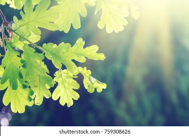 Green oak leaves on a branch in the sunlight