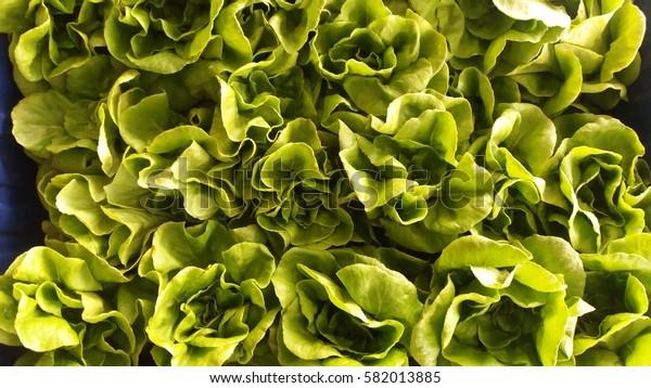 Green oak lettuce on white background.