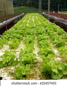 Green oak on white tray. Ready to harvest, Hydroponic vegetables farm in Thailand
