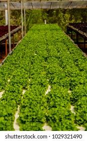 Green Oak organic vegetable in Hydroponic system farm