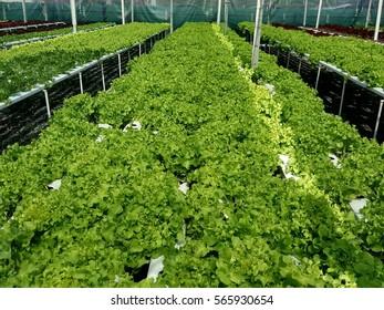 green oak plant in hydroponic farm