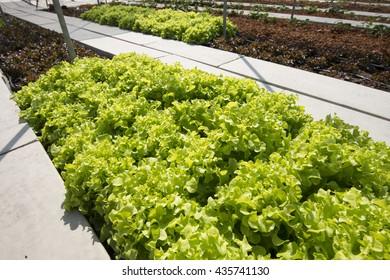 Green oak salad organic