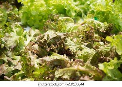 Green Oak salad plant, hydroponic vegetable leaves