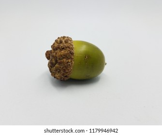 green oak tree acorn seed on white background