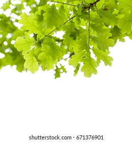 Green oak tree leaves over white background. Natural close-up vertical photo with selective focus