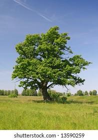 Green oak tree on a grass field