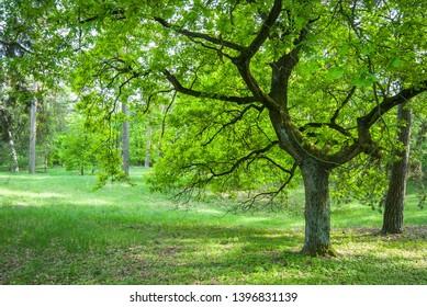 Green oak tree in spring forest