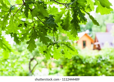 green oak twigs and blurred view of rural houses in summer day (focus on the leaves in the foreground)