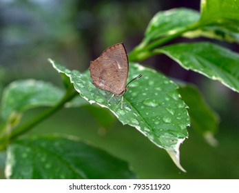 The Green Oakblue (Arhopala eumolphus maxwelli) is a lycaenid butterfly found in the Indomalayan realm The adults are tailed and moderately large.