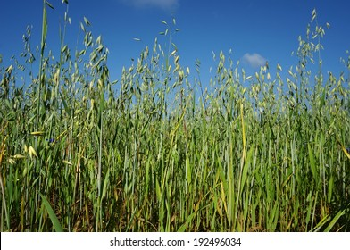 green oat field on summer day