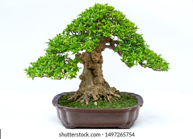 Green old bonsai tree isolated on white background in a pot plant create beautiful art in nature.