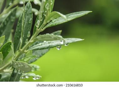 green olive leaves