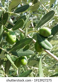 Green olives close up in Tuscany, Italy