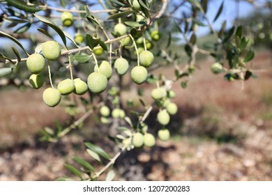 Green olives hang on branches