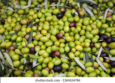 Green olives harvesting from Puglia