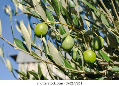 Green olives on branch against blue sky