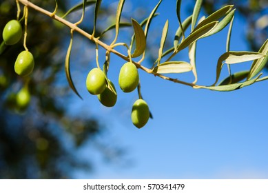 Green olives on the branch. blue sky background. Harvest. Blue sky. Copy space,