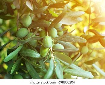 green olives on branch, closeup, sunlight effect