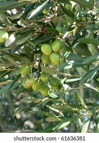 Green olives on olive tree