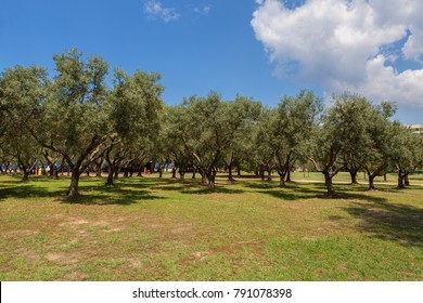 Green olives on an olive tree ripening under the sun on the Sithonia Peninsula