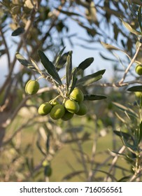 Green olives on tree in summer with close up focus