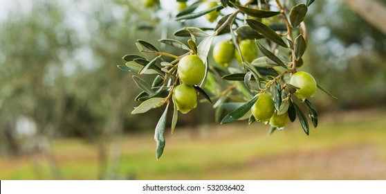 Green Olives Tree
