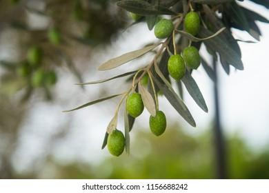 Green Olives Tree. Greek olive grove detail
