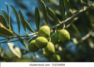 Green olives in tree on Greek Island Samothraki Greece eco bio olives ripe