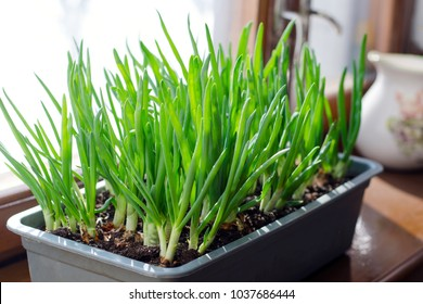 Green onion growing in the box on the window. DIY. The concept of healthy organic food. Non-GMO.