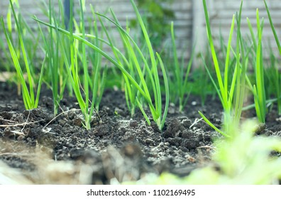 Green onion grows in beds in the rural sunny garden in the summer. Healthy ecological harvest.