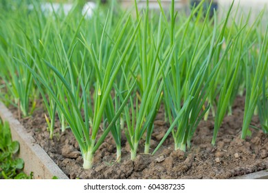 Green onion on the bed