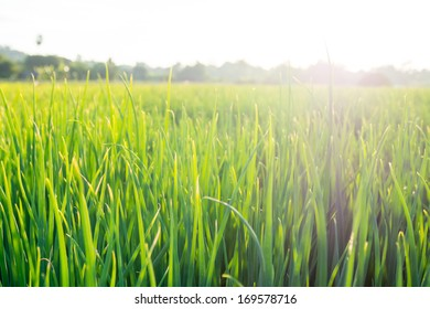 green onion on the field