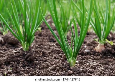 green onions growing in garden