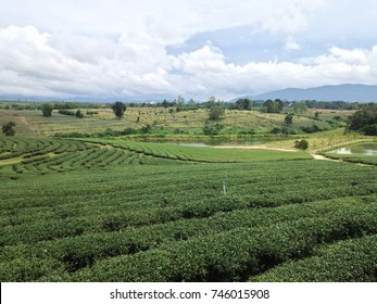 Green oolong tea terrace plantation in Thailand