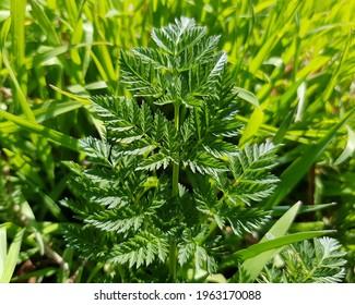 Green openwork compound leaf (Conium maculatum) in the sun in green grass in spring (tekstura). - Shutterstock ID 1963170088