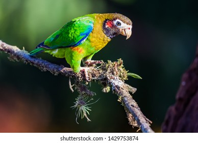 Green and orange feathers of the Brown-hooded parrot,
