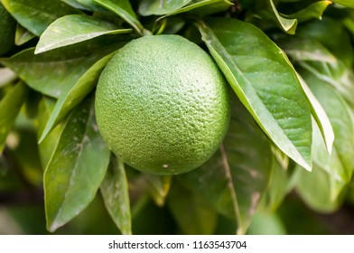 Green orange fruit on an orange tree close up isolated surrounded by leaves.