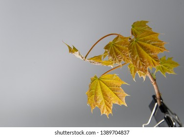 Green and orange young maple leaves on white backgound