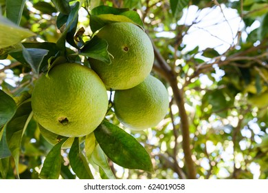 Green oranges on a tree growing on the plantation. Photo was taken in a foliage in Mallorca, Spain.