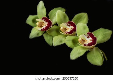 Green orchid - black background