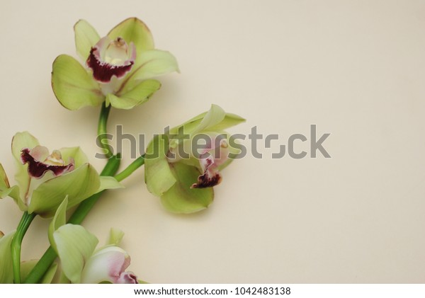 Green Orchid Flower Isolated on Neutral Ivory Background with Copy space for Text. Spring, summer, wedding Bouquet.