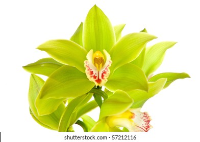 Green orchid isolated on white background