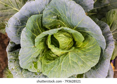 Green organic cabbage fresh leaf vegetable, Food industrial