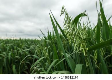 Green organic oat crop plantation field, selective focus